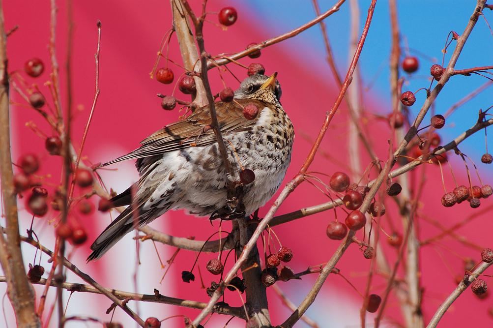 дрозды клюют ягоды рябины